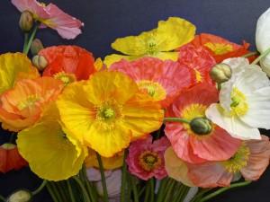Magníficas amapolas de varios colores
