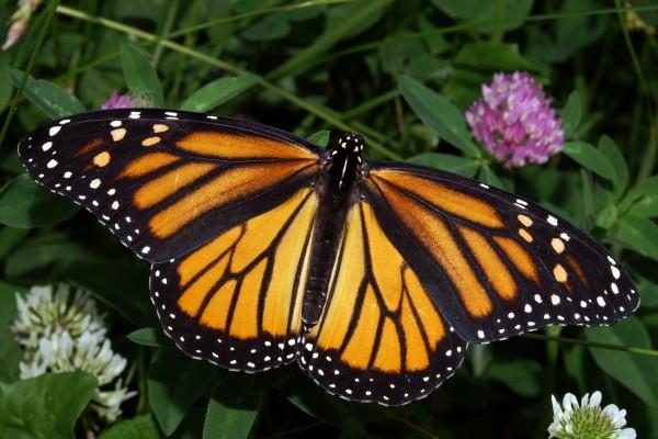 Las alas extendidas de una mariposa monarca