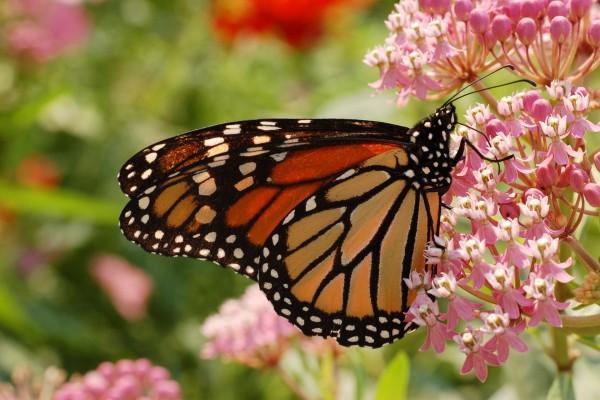 Una mariposa monarca sobre unas florecillas rosas