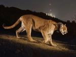 Puma caminando próximo al cartel de Hollywood