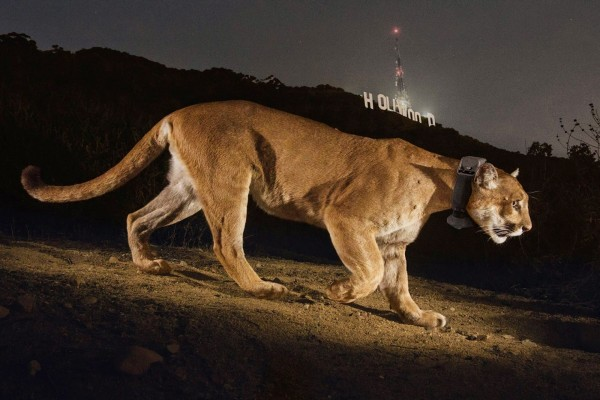 Puma caminando próximo al cartel de Hollywood