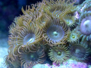 Colonia de zoanthus bajo el mar