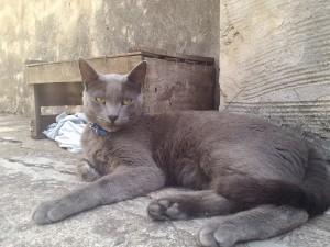 Un gran gato gris