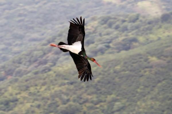 Una cigüeña negra en vuelo