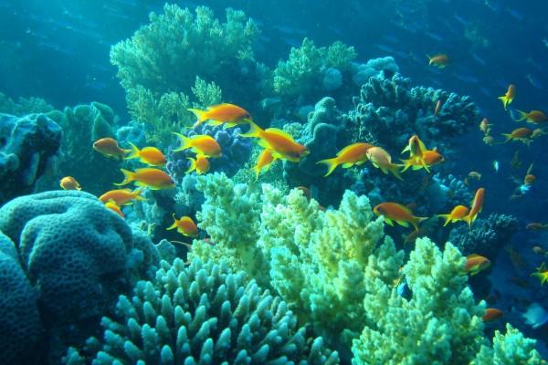 Peces tropicales de color amarillo