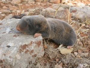 Postal: Rata topo sobre una piedra