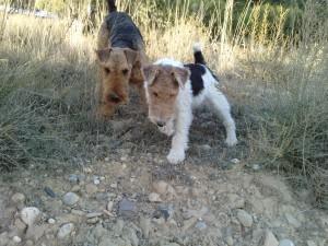 Postal: Dos perros en un campo