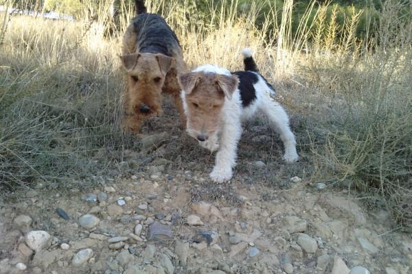 Dos perros en un campo
