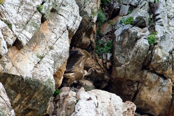 Buitre sobre una roca