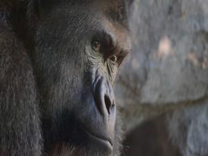 Postal: Cara de un gorila