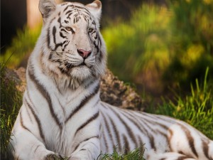 Un bello tigre blanco