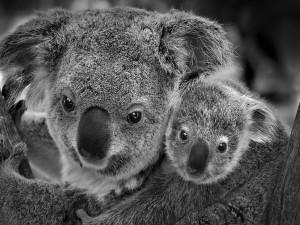 Postal: Foto en blanco y negro de un koala con su cría