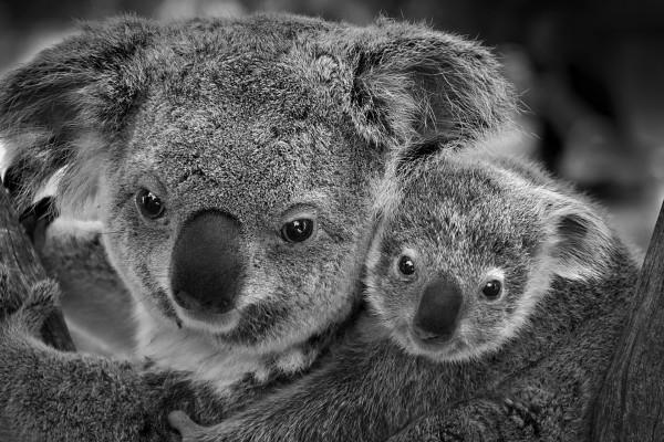 Foto en blanco y negro de un koala con su cría