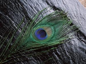 Una pluma de pavo real