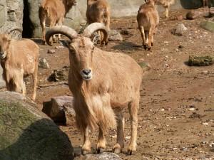 Cabras montesas en un recinto