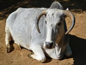 Un bovido con grandes cuernos tumbado