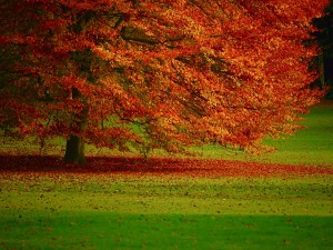 Un gran árbol otoñal en un campo verde