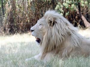 Postal: Un león con pelaje claro