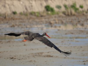 Cigüeña negra volando