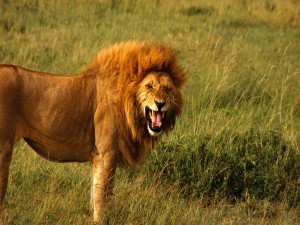 Postal: Un león enojado