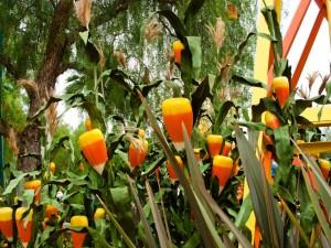 Postal: Caramelos de maíz en un jardín