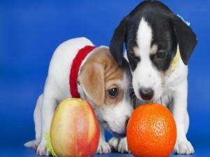 Cachorros olisqueando una naranja