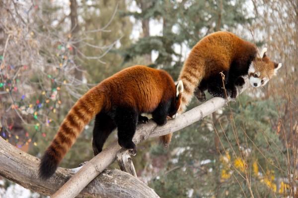 Dos pandas rojos en la rama de un árbol