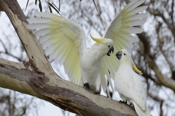 Dos cacatuas en una rama