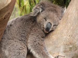 Postal: Koala durmiendo muy tranquilo sobre un tronco