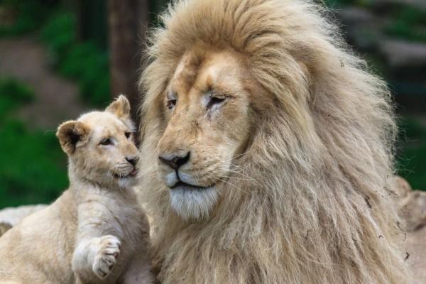Cachorro de león al cuidado de papá
