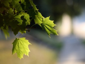 Postal: Hojas verdes en la rama de un árbol