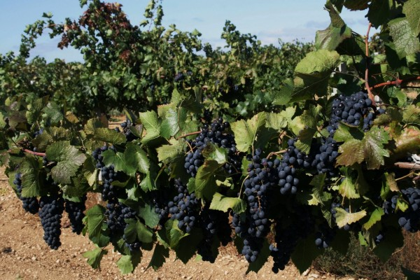 Racimos de uvas negras en la vid