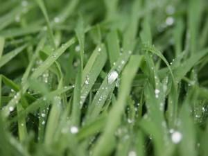 Briznas de hierba con gotas de agua