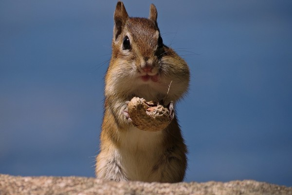 Una glotona ardilla comiendo un cacahuete