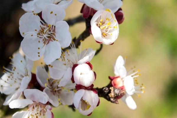 Preciosas flores de albaricoque en una rama
