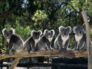 Varios koalas sobre el mismo tronco