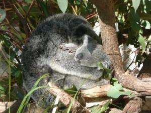 Una koala abrazada a su cría