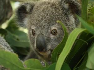 Postal: La cara de un simpático koala