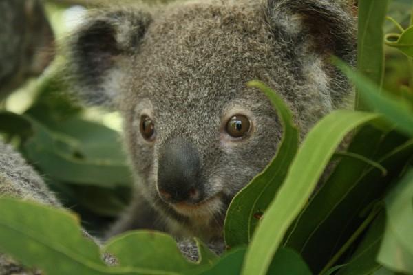 La cara de un simpático koala