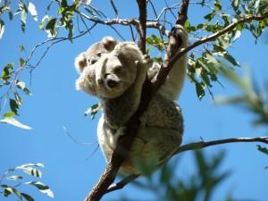 Koala y cría en la fina rama de un eucalipto