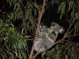 Postal: Koalas en la noche
