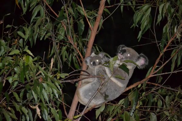 Koalas en la noche