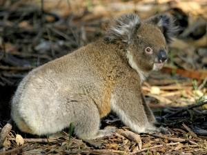 Un koala en el suelo