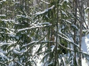 Nieve sobre las ramas de los pinos