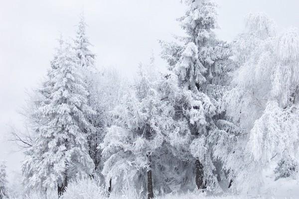 Árboles cubiertos de fría nieve