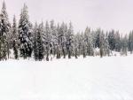 Nieve y pinos