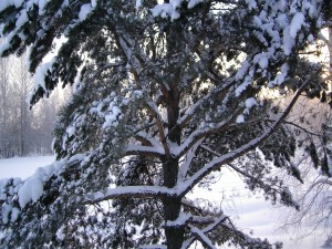 Las ramas de un pino cubiertas de nieve