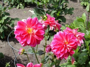 Postal: Bonitas dalias en un jardín