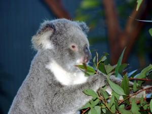 Postal: Un koala comiendo hojas de eucalipto