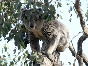 Postal: Koala caminando sobre un árbol